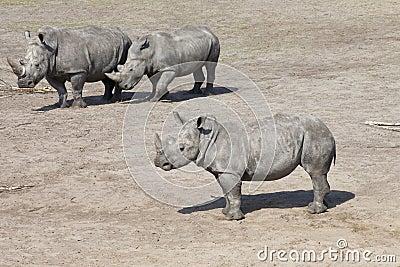 Three white rhinoceros or square-lipped rhinoceros