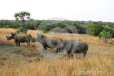 Three white rhinos at Phinda Private Game Reserve, South Africa