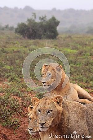 Three wild lions