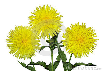 Three Yellow Dahlia