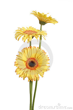 Free Three Yellow Gerbera Daisy Flower Stock Photography - 1959312