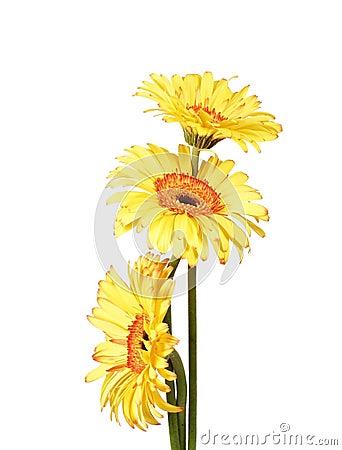 Free Three Yellow Gerbera Daisy Flower Stock Photos - 1959313