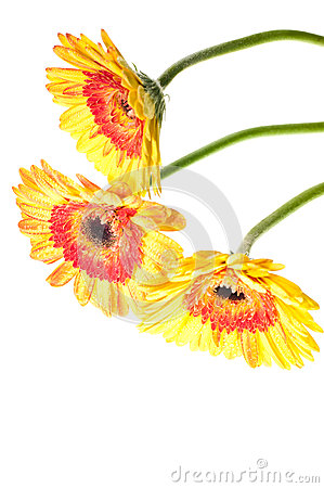 Three yellow orange gerbera flower