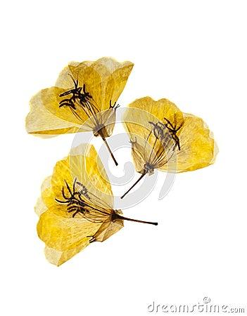 Free Three Yellow Primrose Royalty Free Stock Photo - 17979495