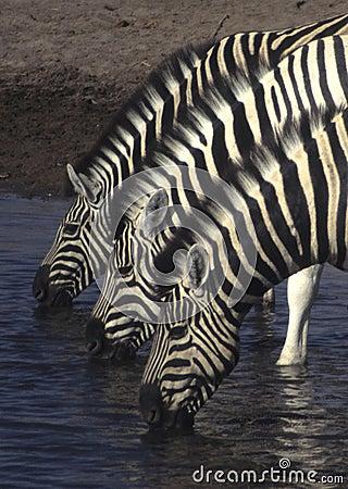 Free Three Zebras Royalty Free Stock Photos - 7282538