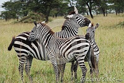 Three zebras cuddling