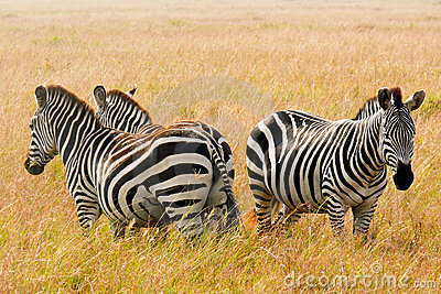 Three Zebras in the Maasai Mara, Kenya.