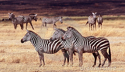 Three Zebras, Ngorongoro Crater, Tanzania