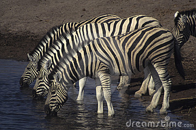 Three zebras at a watering hole