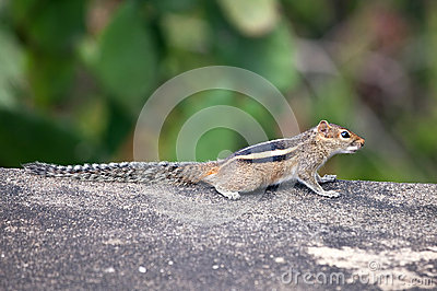 Three‑Striped Palm Squirrel