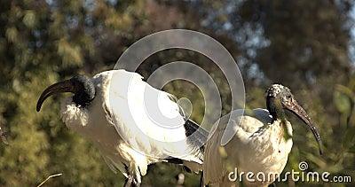 Threskiornis Moluccus aves selvagens de bico longo vídeos de arquivo