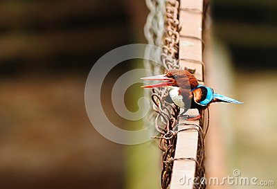 Throated white för kingfisher