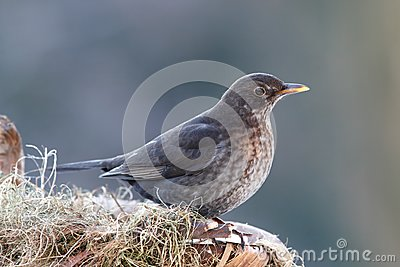 Thrush female on nestle