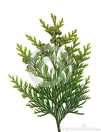 Free Thuja Branch Royalty Free Stock Photo - 41212085
