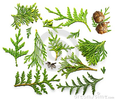 Thuja branch close up Stock Photo