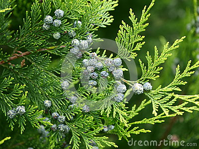 Thuja branch with cones Stock Photo