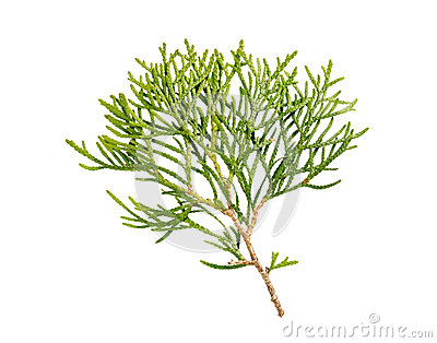 Thuja branch isolated Stock Photo