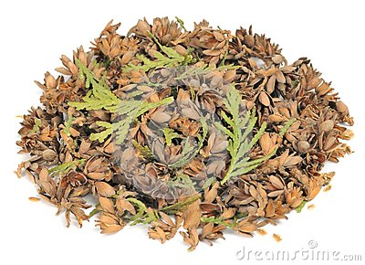 Thuja Cones, Seeds and Leaves