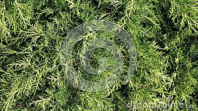 Thuja occidentalis Busch ist immergrüner Koniferenbaum in Zypressengewächse Cupressaceae Gr?npflanzezusammenfassungshintergrund stock video