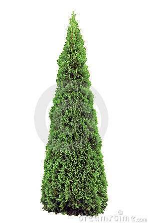 Free Thuja Occidentalis Smaragd, Warm Green American Ar Royalty Free Stock Image - 11313926
