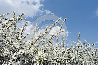 Thunberg s meadowsweet