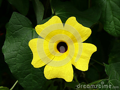 Thunbergia alata, common name Black-eyed Susan