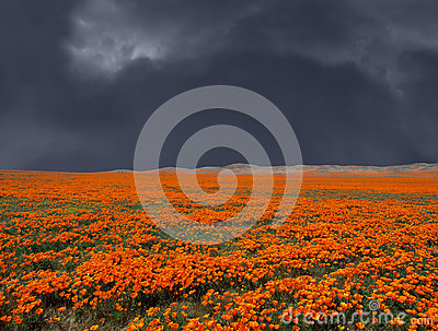 Thunderstorm Poppy Field