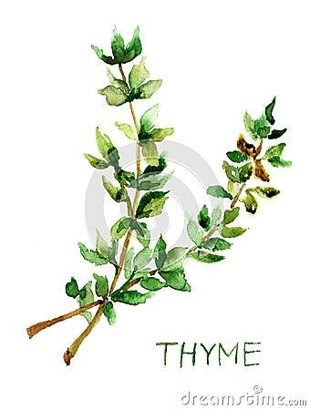 Thym, illustration d aquarelle