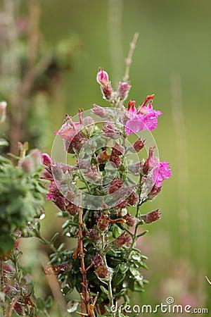 Thymus vulgaris  Silver Posie