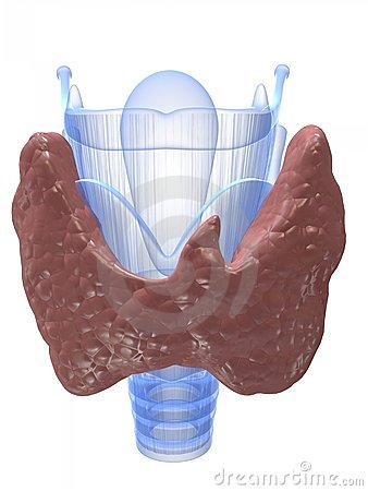 Thyroid and larynx