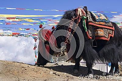 Tibet - Yak - Yamdrok High Pass - China