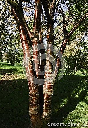 Tibetan Cherry tree