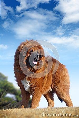 Tibetan Mastiff Royalty Free Stock Image Image 8378026