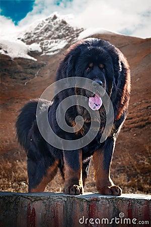 Free Tibetan Mastiff Stock Image - 8450421