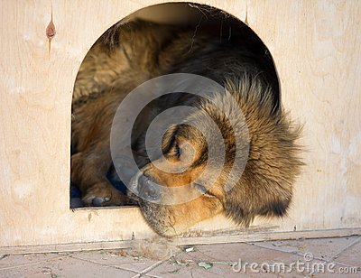 Tibetan Mastiff sleeps in a kennel