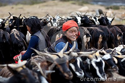Tibetan nomads with goats Editorial Image