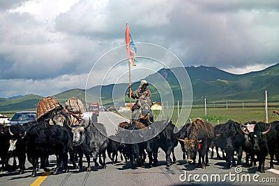 Tibetan people wiht yak Editorial Stock Image