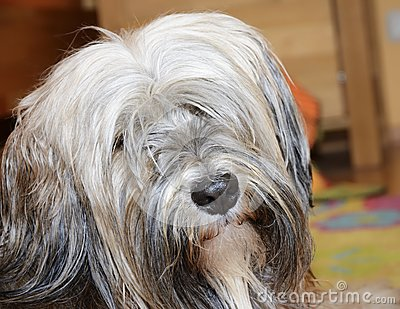 Long Haired Brown Dogs