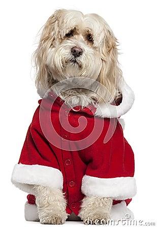 Tibetan Terrier wearing Santa outfit