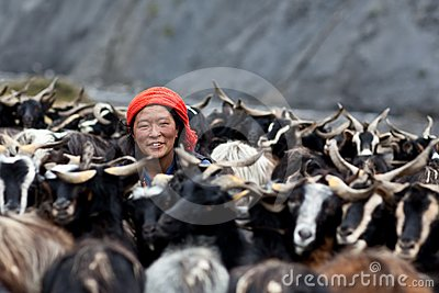 Tibetan woman with goats Editorial Stock Photo