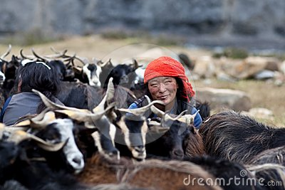 Tibetan woman with herd of goats Editorial Photography