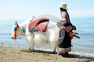 Tibetan woman with white yak Editorial Stock Image