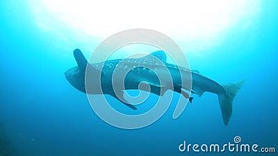 Tiburón de ballena almacen de video