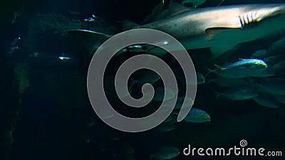 Tiburón grande con otros pescados almacen de metraje de vídeo