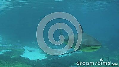 Tiburón gris del filón almacen de video