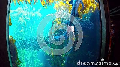 Tiburón que nada con quelpo y sardinas almacen de metraje de vídeo