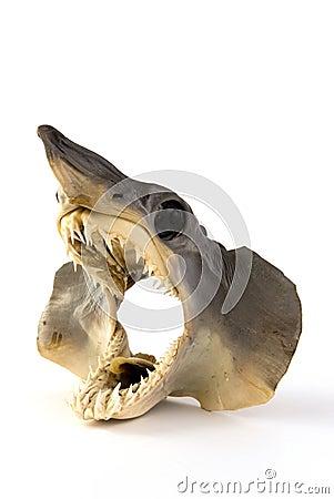 Tiburón del bebé