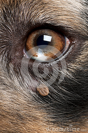 Tick attached next to an Australian Shepherd s eye