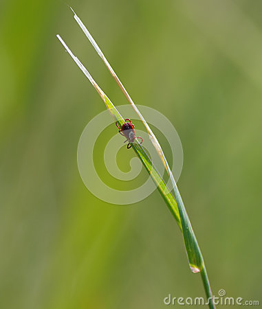 Free Tick In The Grass Royalty Free Stock Photo - 53593895