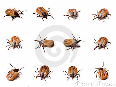 Tick (Ixodes ricinus) close up